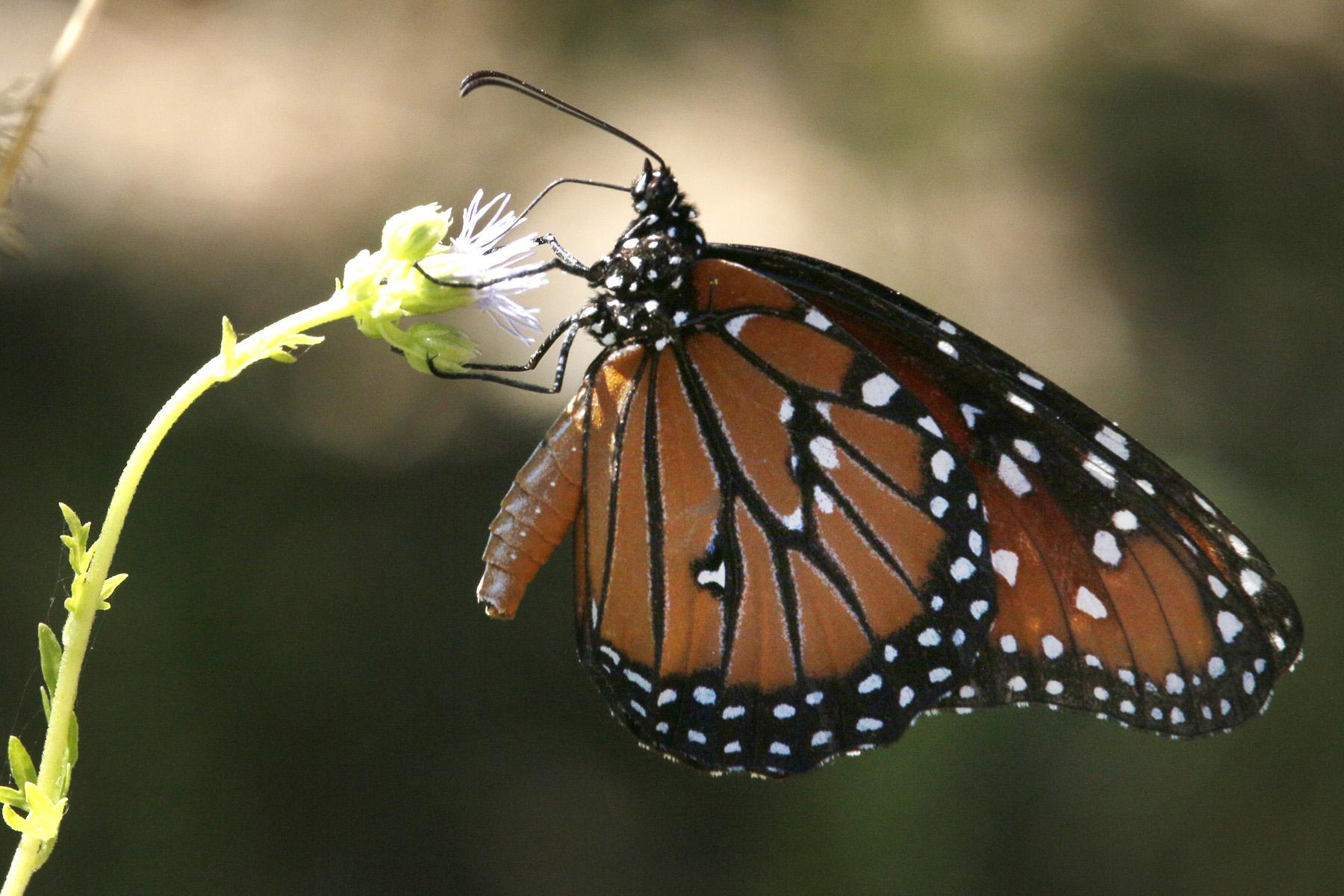 Saving Monarchs: Habitat Restoration