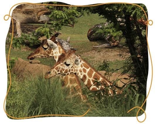 Giraffe heads peeking above tall grass